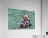 Close-up of a Sea Otter (Enhydra lutris) floating on it's back, looking towards the camera, South-central Alaska; Seward, Alaska, United States of America  Acrylic Print