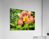 Oranger Lilly 3  Acrylic Print