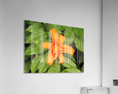 Orange Lilly 1  Acrylic Print
