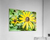 Yellow Cone Flowers   Acrylic Print