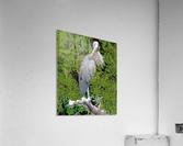 GreatBlueHeron  Acrylic Print