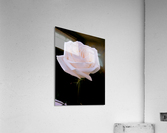 Rose for bride  Acrylic Print