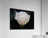 Calming rose  Acrylic Print