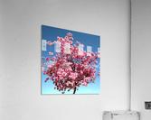 Cherry Blossom on Blue  Acrylic Print