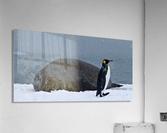 King Penguin walking nest to Elephant Seal  Acrylic Print