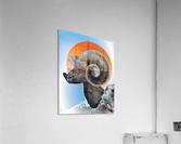 Ram  Acrylic Print