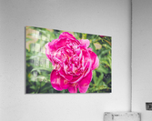 Deadly Beautiful Peonies  Acrylic Print