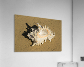 Murex Ramosun Rams Horn Shell  Acrylic Print