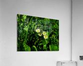 sofn-D38C2562  Acrylic Print