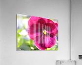 Pink Pansy Photograph  Acrylic Print