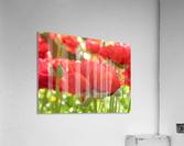 Red Rose Garden Photograph  Acrylic Print