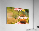 Like Sunflowers  Acrylic Print