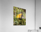 Butterfly on Arrowleaf   Acrylic Print
