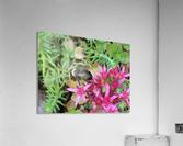 Bumblebee Visitor  Acrylic Print