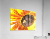 Bumblebee on Sunflower  Acrylic Print