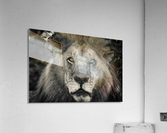 The King of South Africa - 1  Acrylic Print