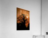 Baobab Sunset  Acrylic Print