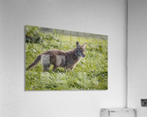 Coyote Pretty  Acrylic Print