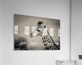 Girafe Calve  Acrylic Print