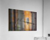 Tawny Owl  Acrylic Print