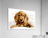 Cute Cocker Spaniel Puppy  Acrylic Print