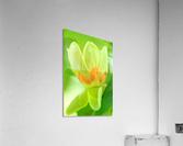 Tulip Poplar Flower  Acrylic Print