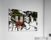 Cardinals 4  Acrylic Print