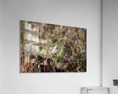 Angry Mockingbird 3  Acrylic Print