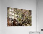 Angry Mockingbird 2  Acrylic Print