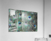 peacock feather pattern plumage  Acrylic Print
