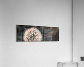 Late Season Dandelion 2  Acrylic Print