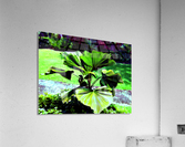 BO902 - Licuala peltata Leaves  Acrylic Print