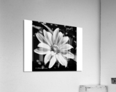 Daisy in bw  Acrylic Print