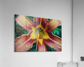 Eye of the tiger lily  Acrylic Print