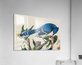 Blue Jay familly  Acrylic Print