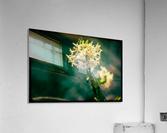 Rice Flower  Acrylic Print