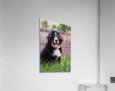Bernese Mountain Dog Puppy 1  Acrylic Print