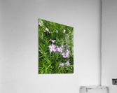 Purple Wild flowers  Acrylic Print