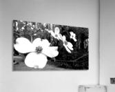 North Carolina Dogwood Flowers   Acrylic Print