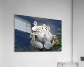 Sygnets  Acrylic Print