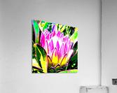 pink protea  Acrylic Print
