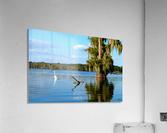 Swim or Not  Acrylic Print