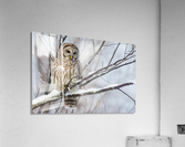 Barred Owl on a Snowy Branch  Acrylic Print