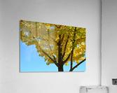 Yellow Fall Foliage Photograph  Acrylic Print