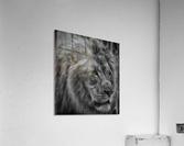 Artistic black and white Lion  Acrylic Print