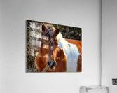 Assateague Pony Ms Macky  Acrylic Print