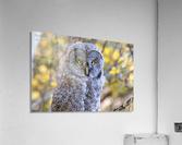 Owls  Acrylic Print