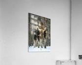 Mr. Moose  Acrylic Print