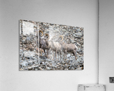 Big Horn Sheep - Family Portrait  Acrylic Print