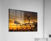 Wood Storks at Sunset  Acrylic Print